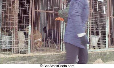 Volunteer at a dog shelter feeding dogs - Steadicam shot....