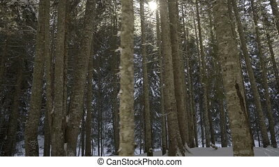 Morning walk in the spruce forest. Winter in the mountains....