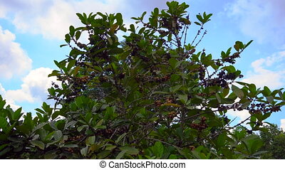 Steadycam shot of coffe tree with coffe fruits on it in a tropical garden.