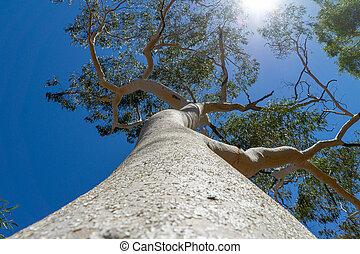 stecken, baum, großer himmel, outback, zweige, blauer gummi,...