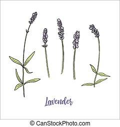 steem, bosquejo, bloom., coloreado, púrpura, lavanda, ...