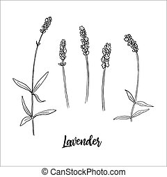 steem, cabeza, bloom., illustration., pluma, lavanda, ...