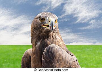 steenarend, sterke, roofvogel, vogel, tegen, bewolkte hemel,...