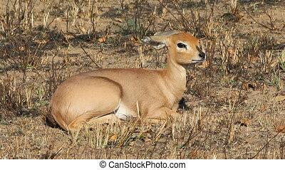 Steenbok antelope - Female steenbok antelope (Raphicerus...