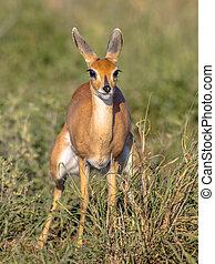 Steenbok female in green savanna