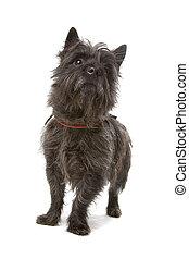 steenhoop, terrier, dog