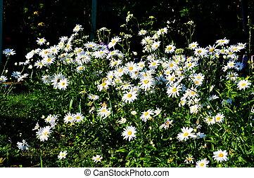 steepe, flowerses, altaya.