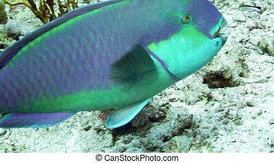 Steephead parrotfish Chlorurus microrhinos - Steephead...