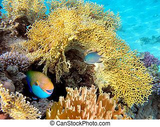 steepheaded, parrotfish, mar rojo