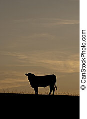 Steer Silhouette - Steer on a hill silhouetted against the...