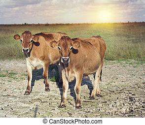 Steers in a farmland