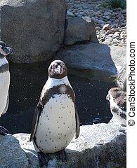 stehen, pinguin