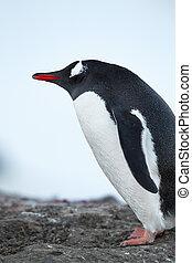 stehende , antarktisch, pinguin