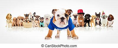 stehende, bulldogge, englisches,  Front, hunden, Satz