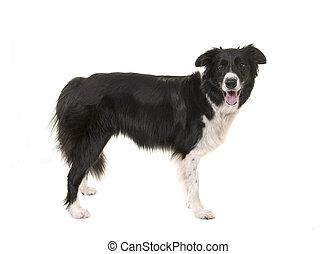 stehende , collie, freigestellt, hund, schauen, fotoapperat...