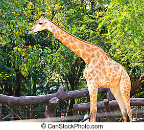 stehende,  Giraffe,  zoo