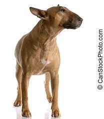 stehende , hintergrundfarbe, smut, -, weibliche , stier, weißes, terrier, rotes