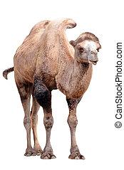 stehende , kamel