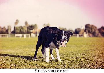 stehende , konzentriert, collie, aus, frame., prozess, hund...