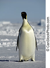 stehende , letzter , pinguin