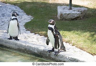 stehende , pinguin
