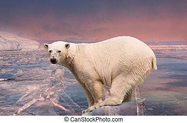 stehende , polar, block, bär, eis