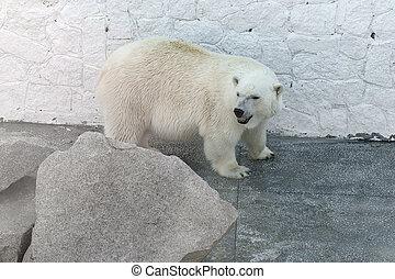 stehende , polar, stein, großer bär, hinten