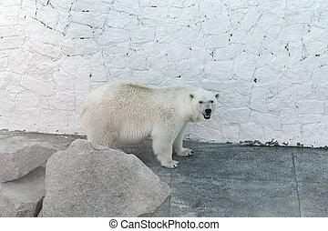 stehende , polar, stein, hinten, bär