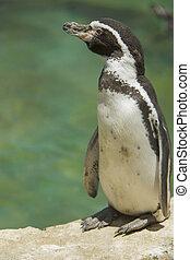 stehende , schauen, beiseite, pinguin