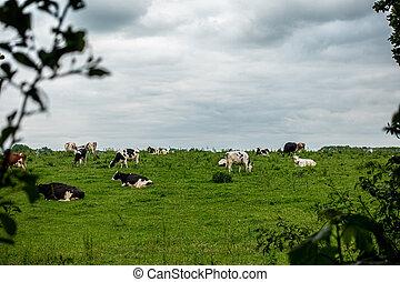 steht, bewölkter himmel, herde, schwarz, kühe, grün weiß,...