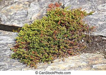 stein, nigrum, crowberry, empetrum, wachsen, zwischen