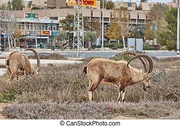 steinbock, in, mitzpe, ramon, israel