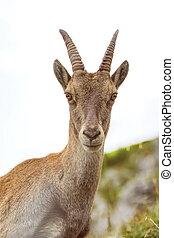 Steinbock or Alpine Capra Ibex portrait at Colombiere pass, Fran
