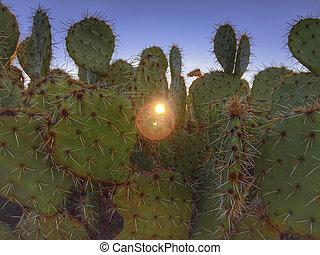 stekelig, cactus, woestijn, morgen