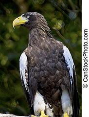Stellar's Sea Eagle Haliaeetus Pelagicus Perched Black White...