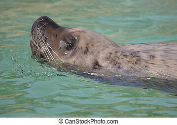 Steller Sea Lion swimming
