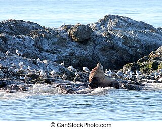 Steller Sea Lion with Gulls
