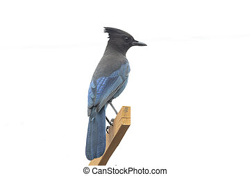 Steller's Jay bird at Vancouver BC Canada