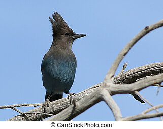 Steller's Jay perched on a Branch