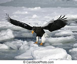 Steller's sea-eagle, Haliaeetus pelagicus, single bird in...