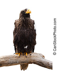 Steller's sea eagle. Isolated over white