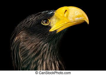 Steller's sea eagle on black background - Haliaeetus...
