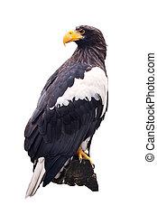 Steller's sea eagle   over white