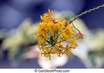 Stem and Orange Epidendrum Orchid Flower on Bokeh Background