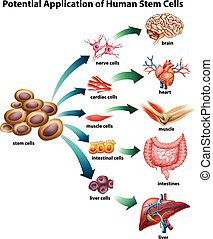 Stem cell application - Explanation of stem cell application