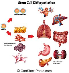 Stem cell differentiation diagram