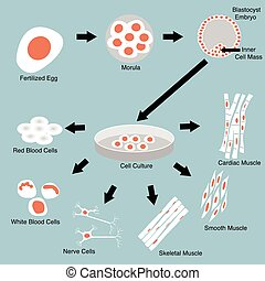 Stem Cell - Illustration of stem cell culture and cell ...