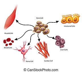 Stem Cells - Illustration showing the stem cells