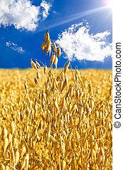 Stem oats against the blue sky