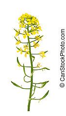 stem of mustard flower isolated on white background